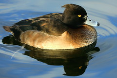 Female Tufty Reflection (claylaner) Tags: tuftedduck aythyafuligula duck water bird wildfowl divingduck
