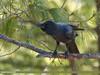 Large-billed Crow (Corvus macrorhynchos) (gilgit2) Tags: abbottabad avifauna birds canon canoneos7dmarkii category changlagali fauna feathers geotagged imranshah kpk largebilledcrowcorvusmacrorhynchos location pakistan species tags tamron tamronsp150600mmf563divcusd wildlife wings gilgit2 corvusmacrorhynchos