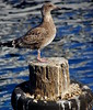 I'M STANDING IN WHAT? (Gary Post) Tags: gull im standing in what