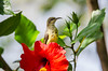 Variable Sunbird female (Flos Fotos) Tags: 2017 afrika mpulungu nkupilodge zambia sunbird bird