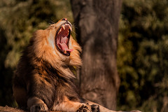 Tired Lion 3-0 F LR 2-20-18 J216 (sunspotimages) Tags: lions lion malelion malelions nature zoos zoosofnorthamerica zoo nationalzoo fonz2018 fonz