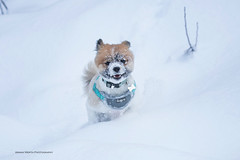 Chewy snow face (ArmanWerthPhotography) Tags: armanwerthphotography dog snow chewy running annettelake washington washingtontrails