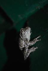 Hyla versicolor (FloraNYC) Tags: amphibian frog treefrog animal fauna nyc newyork newyorkcity queenscounty queens hyla hylaversicolor versicolor