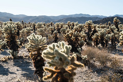 Cholla Cactus Garden - Joshua Tree National Park, California (ChrisGoldNY) Tags: sonya7rii sonyalpha sonyimages chrisgoldphoto chrisgoldny chrisgoldberg forsale licensing bookcovers bookcover albumcover albumcovers sony greece greek grecia greekislands cyclades california socal westcoast usa america joshuatree joshuatreestatepark cactus cacti cholla chollacactusgarden succulents plants nature desert