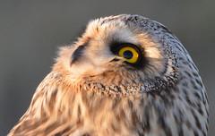 Wonderment (Snixy_85) Tags: owl shortearedowl asioflammeus