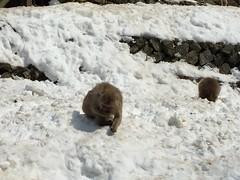 IMG_3463 monkey onsen (drayy) Tags: nagano japan monkeyonsen snowmonkeys yaenkoen jigokudani monkey onsen macaque japanesemacaque