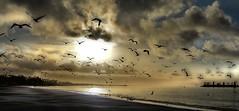 Winter, the Shore (beachpeepsrus) Tags: birds shore sky shorefront seagull blackskimmers pelican beach beachfront water westcoast longbeachcalifornia longbeachgranprix light clouds