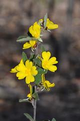Hibbertia (jeans_Photos) Tags: westdale westdalehill hibbertia dale westernaustralia
