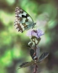 Mari-ambiente-copia-2 (invesado) Tags: ambiente flares mariposa nikon 90tamron