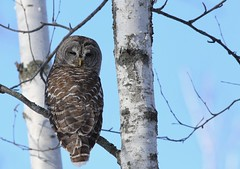 Barred owl (another pic of this lifer I saw this past weekend. (Guy Lichter Photography - 3.9M views Thank you) Tags: barredowl owls owl birds bird animals animal wildlife manitoba canada 5d3 canon