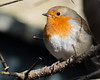 Silent observer (dusk_rider) Tags: robin erithacus rubecula bird perch branch tree sitting watch observe dusk rider silent peaceful nikon d7200 nikkor micro 60mm f28d macro hertfordshire england uk english closeup cute feather eye red