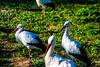 DSC_6360.jpg (b0n2a1) Tags: 2017 grandcirclecruiseline hunawihr naturoparcexcentredereintroduction rhineriver routederibeauville storks animalpark swanmvrhapsody