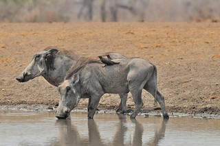 Zimbabwe Cape Buffalo Hunt 81