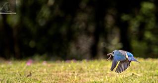 Sacred Kingfisher 73