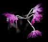 Little purple orchid (judy dean) Tags: judydean 2018 houseplant pink magenta