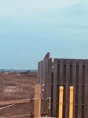 Barred Owl (rnb6383) Tags: barredowl image1 sp2018 uncweteal bio366 uncw ecology