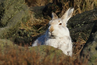 Mountain Hare_339A0726