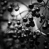Black Berries (Mabry Campbell) Tags: harriscounty houston texas usa berries blackandwhite fineart houstonarboretum image macro monochrome nature photo photograph plant squarecrop f45 mabrycampbell july 2017 july232017 20170723campbellh6a5894 100mm ¹⁄₁₀₀sec 125 ef100mmf28lmacroisusm fav10 fav20 fav30