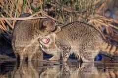 Underbite (gseloff) Tags: raccoon feeding biting playing affection parent child animal wildlife water reflection bayou horsepenbayou pasadena texas kayak gseloff
