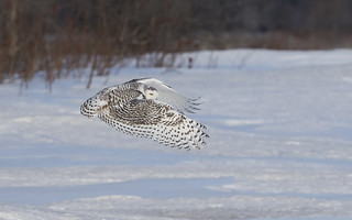 Snowy owl hunting over an open field