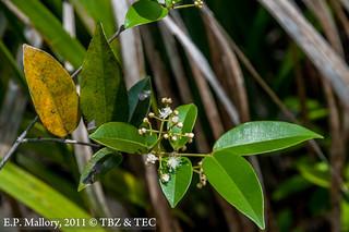 2011-07-24 TEC-4151 Eugenia cf. aeruginea - E.P. Mallory