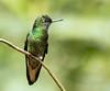 IMG_3095  Buff-tailed Coronet_hummingbird (ashahmtl) Tags: bufftailedcoronet hummingbird boissonneauaflavescens guangolodge napoprovince ecuador