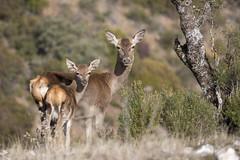 Sierra de Andujar (wietsej) Tags: sierra de andujar andalusia spain deer nature