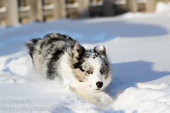 Running 2 (Kenjis9965) Tags: canoneos7dmarkii canon70200f28l cardigan canon eos 7d mark ii ef 70200mm f28l is usm welsh corgi stumper stumps small outside winter playing ball running fast action motion blue merle fluffy coat