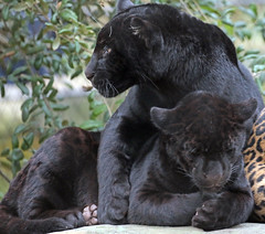 jaguar artis BB2A3878 (j.a.kok) Tags: jaguar kat cat mammal artis animal zoogdier zuidamerika southamerica pantheraonca rica predator