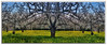 Walnut trees n Mustard (A Work of Mark) Tags: walnuttrees mustard scenic color photoshop layers sonomacounty orchard topazclarity yellow