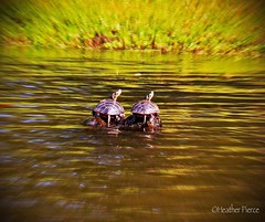 Two Peas in a Pod (heatherpierce2) Tags: green river turtles concordriver concord nature