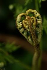 Nature is my valentine (annabuni) Tags: nature is ma valentine coeur green bretagne finistère fougère macro macrophotographie macrophoto proxy printemps spring anna bunichon buni onnalua annarchie tamron lens 90mm f28 vi usd 11 sony slta58