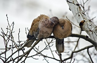 Care and Affection:  Half-Collared Eurasian Dove Pair - I