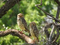 Coruja-buraqueira (Alexandre Marino) Tags: corujaburaqueira athenecunicularia pássaros aves birds corujas owls
