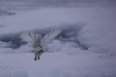 Snowy Owl (Dan Tristram Photography) Tags: buboscandiacus snowyowl