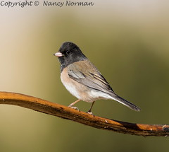 Dark-eyed Junco male (N2NATURE PHOTOGRAPHY) Tags: darkeyed junco ft davis texas perched male winter chihuahua desert research