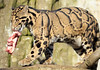 clouded leopard Ouwehands BB2A2974 (j.a.kok) Tags: nevelpanter cloudedleopard luipaard leopard panter panther neofelisnebulosa kat cat asia azie mammal zoogdier dier animal ouwehands
