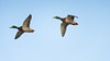 BIF of the day (1/2) : Rocket in the sky (Franck Zumella) Tags: duck canard mallard colvert sky ciel oiseau bird flight voler lac lake animal wildlife nature bif fast rapide blue bleu sony a7s a7 tamron 150600