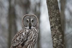 Great grey owl (Strix nebulosi) – puszczyk mszarny (tomaszberlin) Tags: great gray owl strix nebulosi puszczyk białowieża forest winter poland belarus wildelife nature nikon d500 bokeh