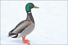 Mallard On Snow (muledriver) Tags: ducks nature mallards winter snow ice lakekatherine