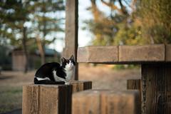 猫 (fumi*23) Tags: ilce7rm3 sony gato neko cat 58mm cosina nokton voigtlander voigtländernokton58mmf14slⅱ bokeh dof fmount a7r3 animal ねこ 猫 ソニー コシナ ノクトン