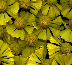 58794.01 Helenium autumnale (horticultural art) Tags: horticulturalart heleniumautumnale helenium helensflower yellow closeup