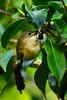DSC07647 - Goldcrest (steve R J) Tags: goldcrest subtropical gardens abbottsbury dorset birds british