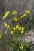 _IMG5027 Chuchamel (Oxalis pes-caprae) (Rafael Ojea) Tags: pentax pentaxk1 smcpentax flores chuchamel vinagrillo vinagreta