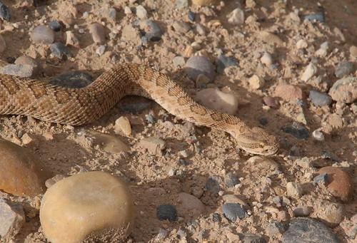 Prairie Rattlesnake (Crotalus viridis viridis); Dixie NF, UT