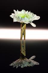 flower macro 25-02-2018 004 (swissnature3) Tags: macro flowers stilllife light