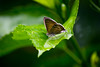 Butterfly (112echo) Tags: butterfly leaf flying insects macro plants nature wildlife garden