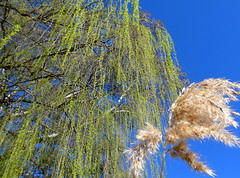 Springtime Willow (Diepflingerbahn) Tags: springtime willow tree reed kangarooflat rotarygatewaypark bendigo victoria bendigocreek