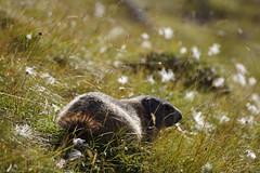 DSC00656 (CaputAethiopum) Tags: murmeltier marmot schweiz alpen berge engadin graubünden unterengadin switzerland suisse