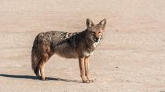 "Death Valley National Park    California Coyote (Feridun F. Alkaya) Tags: ""nikon80200"" deathvalley deathvalleynationalpark nps ngc california coyote usa nationalpark zabriskiepoint sanddunes jackal desert dvnp mesquiteflatdunes dunes saltflats salt"